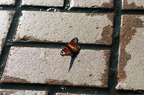 Бабочка на мостовой ул. Крещатик